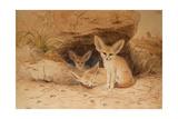 Fennec Fox - Canis Cerdo
