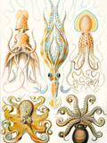 Examples of Various Cephalopods 'Kunstformen Der Natur'  1899