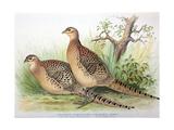 Phasianus Mongolicus and Phasianus Shawi  1906-7