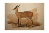 Kob Antelope  1837