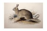 Lagotis Cuvieri  1833