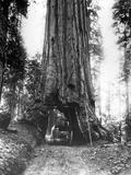 The Wawona Tunnel Tree in the Mariposa Grove  Late C19th