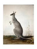 Macropus Parryi  1834