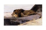 A Resting Lion; Ruhender Lowe