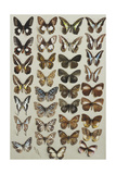 Thirty-Three Butterflies  in Four Columns  Belonging to the Papilionidae and Danainae Families