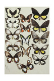 Fifteen Swallowtail Butterflies (Family Papilionidae) in Three Columns