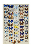 A Packed Plate of Sixty-Two Butterflies  in Five Columns  Mostly Representing Some of the Larger…