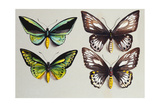 Four Birdwing Butterflies (Family Papilionidae) in Two Columns  Representing Both Sexes of the…