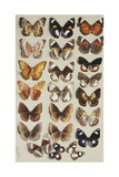 Twenty-Two Butterflies in Three Columns  All Belonging to the Family Nymphalidae