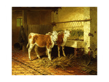 Two Calves in a Barn