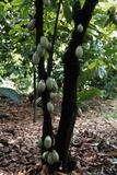 Cocoa Plantation  South Guatemala