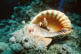 Giant Triton Shell
