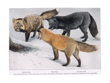 Crossred and Silver Foxes