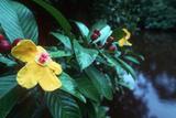 Simpoh Air Flower (Dillenia Excelsa)
