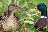 Mallard Ducks  Composite Image