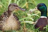 Mallard Ducks  Composite Image