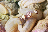 Anemone Shrimp In Its Anemone