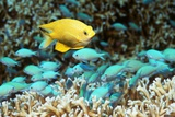 Golden Damselfish And Blue-green Chromis