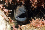 Yellow-margined Moray