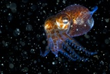 Atlantic Bobtail Squid
