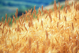 Field of Organically-grown Wheat (Triticum Sp)