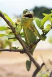Flap-necked Chameleon