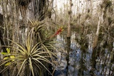 Bromeliad (Tillandsia Fasciculata)
