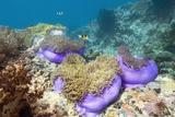 Anemones with Anemonefish