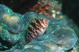 Two-spotted Hawkfish