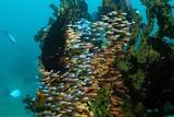 Spotnape Cardinalfish