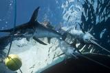 Swordfish In a Fishing Net