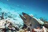 Giant Moray Eel And Cleaner Wrasse