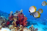 Panda Butterflyfish Over a Coral Reef