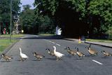 Geese Crossing a Road