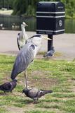 Grey Herons And Pigeons