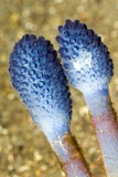 Blue Stalked Sea Squirts