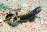 Shrimp Goby with Its Partner Shrimp