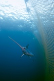Swordfish Swimming In a Fishing Net