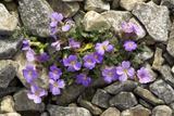 Lilacbush Flowers (Aubrieta Deltoidea)