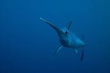 Swordfish Swimming