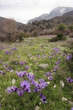 Poppy Anemone Flowers (Anemone Coronaria)