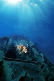 Red Lionfish Over a Shipwreck