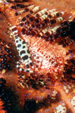 Coleman's Shrimp on a Sea Urchin