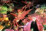 Durban Hingebeak Shrimps
