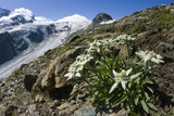 Edelweiss And Glacier