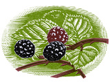 Blackberries  Woodcut