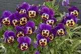 Pansies (Viola Sp)