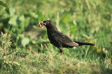 Blackbird with a Worm
