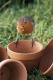 European Robin on a Flowerpot