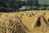 Wheat Sheaves (Triticum Sp)